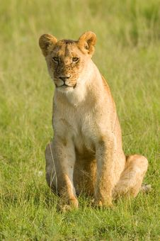 Free Lioness Stock Photos - 20218153