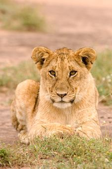 Free Lioness Stock Images - 20218524