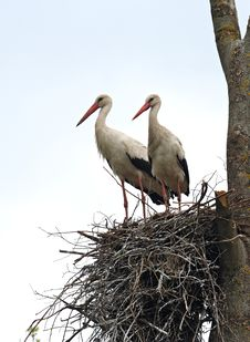 Free Storks Royalty Free Stock Images - 20219269