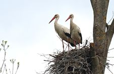 Free Storks Royalty Free Stock Image - 20219346
