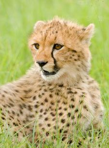 Free Cheetah Cub Royalty Free Stock Photos - 20219708