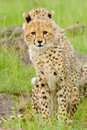 Free Cheetah Cubs Stock Images - 20220074