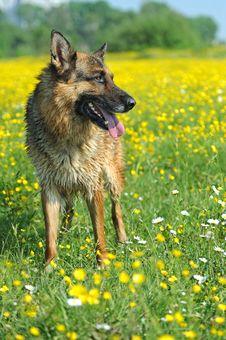 Free German Shepherd Stock Photos - 20223343