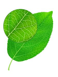 Free Detailed Green Leaf Royalty Free Stock Photography - 20223427