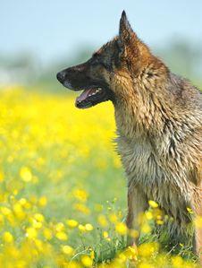 Free German Shepherd Royalty Free Stock Image - 20224216