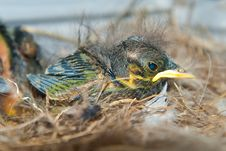 Free Newborn Chick In The Nest Stock Photos - 20224723