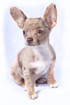 Free Merle Chihuahua Puppie Dog Royalty Free Stock Photos - 20225078