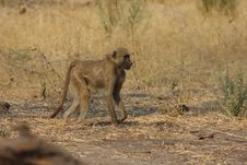 Free African Baboon Royalty Free Stock Images - 20226869