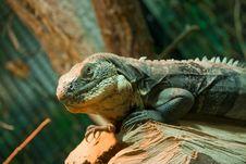 Free Krokodil - Teju Royalty Free Stock Photography - 20228177