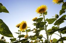 Free Beautiful Sunflowers Royalty Free Stock Image - 20228246