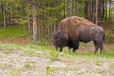 Free Grazing Buffalo Stock Photography - 20229412