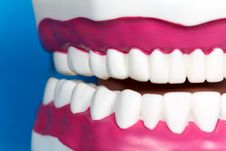 Jaw Model With Human Teeth Royalty Free Stock Photo