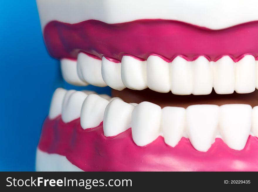 Jaw Model with human teeth