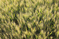 Free Wheat Field Seen From Above In Backlight Royalty Free Stock Images - 20232569