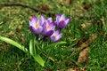 Free Purple Crocuses Stock Photography - 20236862