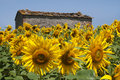 Free Sunflowers Stock Photo - 20239280