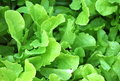 Free Green Leafy Lettuce In Agarden Royalty Free Stock Photography - 20239447