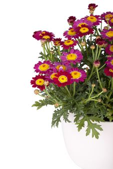 Free Marguerite In A Flowerpot Stock Photo - 20230570