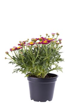 Free Marguerite Flower In A Plastic Pot Royalty Free Stock Photography - 20230607