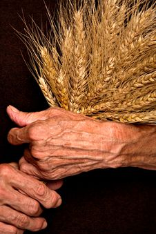 Free Barley Ears In Senior Woman S Hands Stock Images - 20230754