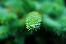 Free Young Pine Leaves Royalty Free Stock Photography - 20230957