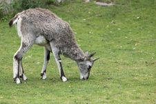 Free Himalayan Blue Sheep Stock Photography - 20231522