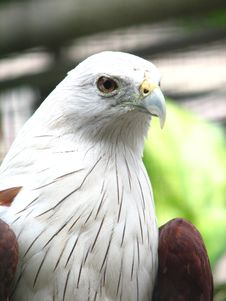Free Scaly-breasted Falcon Stock Images - 20231954