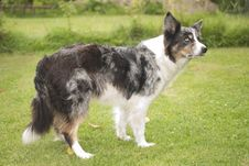 Free Blue Merle Border Collie Stock Photo - 20232260