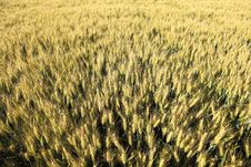 Free Yellow Wheat Field From Above Stock Photo - 20232630