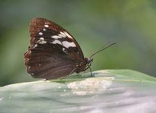 Free Eye Butterfly (Penthema Adelma Felder Stock Photography - 20233312