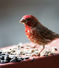 Male House Finch Royalty Free Stock Photography