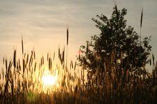 Free Oak, Rye And Sunset Stock Image - 20236181
