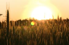 Free Sunset In The Rye Field Stock Photos - 20236183