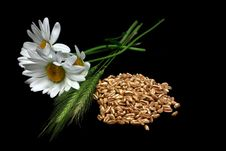 Free Chamomiles And Cereal Plant With Grain Stock Photo - 20236920