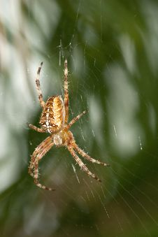 Free Garden Spider Royalty Free Stock Photography - 20237217
