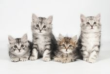 Free Siberian Kittens Royalty Free Stock Images - 20238249