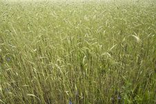 Free Wheat Field After A Rain Royalty Free Stock Photography - 20239147