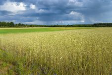 Wheat Field After A Rain Stock Photography