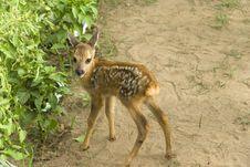 Free Baby Sika Deer Royalty Free Stock Image - 20239236