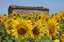 Free Sunflowers Stock Photo - 20239280