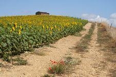 Free Sunflowers Stock Photos - 20239293