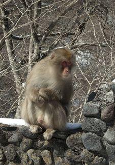 Free Wild Japanese Monkey Stock Photos - 20239333