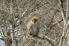 Free Wild Japanese Monkey Royalty Free Stock Photos - 20239338