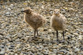Free Two Seagull Chicks Royalty Free Stock Photos - 20241498