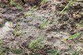 Free Jasmine Rice Field Stock Photography - 20243442