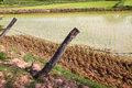 Free Jasmine Rice Field Stock Photo - 20243480