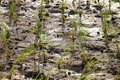Free Jasmine Rice Field Royalty Free Stock Photos - 20243638