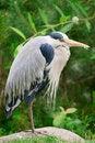 Free Gray Heron Royalty Free Stock Images - 20244519