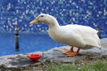 Free White Duck Royalty Free Stock Images - 20247929