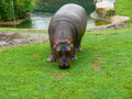 Free Cub Hippo Stock Photo - 20247960